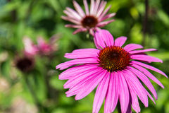 Purple coneflower Royalty Free Stock Image