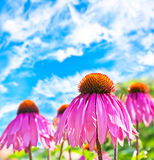 Purple Coneflower Royalty Free Stock Images