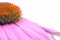 Purple coneflower-echinacea. Medium close, showing one half the flower head. Some pollen grains visible Royalty Free Stock Photos
