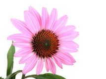 Purple Coneflower, Echinacea Stock Image