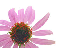 Purple coneflower-echinacea Stock Photo