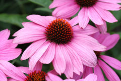 Purple coneflower (Echinacea purpurea). Is a species of flowers belonging to the daisy family, native to eastern North America. They are a popular garden choice Royalty Free Stock Photography