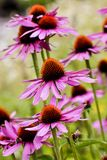 Purple coneflower, Echinacea purpurea, blossom, Bavaria, Germany, Europe. Echinacea is an ancient medicinal plant used by the North American Indians for colds royalty free stock image