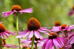 Purple coneflower, Echinacea purpurea, blossom, Bavaria, Germany, Europe. Echinacea is an ancient medicinal plant used by the North American Indians for colds royalty free stock photography