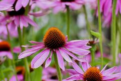 Purple coneflower, Echinacea purpurea, blossom, Bavaria, Germany, Europe. Echinacea is an ancient medicinal plant used by the North American Indians for colds stock image