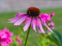 Purple coneflower, Echinacea purpurea, flower close-up, selective focus, shallow DOF Royalty Free Stock Photos