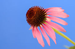 Purple Coneflower (Echinacea purpurea) Royalty Free Stock Photo