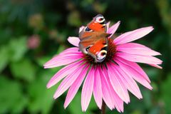 Purple coneflower, Echinacea purpurea, with peacock butterfly. Vibrant pink cone flower with resting orange european peacock butterfly stock photography