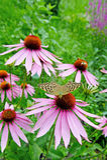 Purple coneflower. Flowering purple coneflower in garden, echinacea purpurea Stock Photography