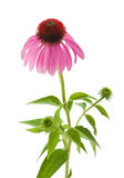 Purple Coneflower. Isolated on white Royalty Free Stock Photo