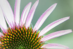 Purple Coneflower Stock Photo