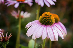 Purple Coneflowers Stock Photography