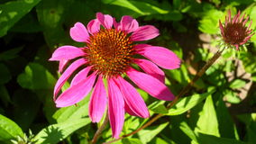 Purple coneflowers. Purple coneflower garden planted from seed Royalty Free Stock Photos