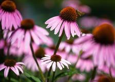 Purple Coneflowers (Echinacea) Background Royalty Free Stock Image