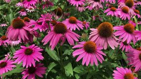 Purple coneflowers, echinacea, sway in the summer breeze. A mass of colorful pink and purple coneflowers, echinacea, gently sway in the summer breeze stock video footage