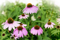 Purple Coneflowers Royalty Free Stock Images