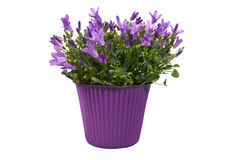 Campanula Purple Flowers Stock Photography