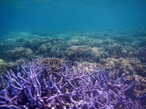 Purple coral with nobody sea Royalty Free Stock Images