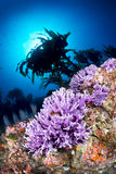 Purple coral on reef Stock Image