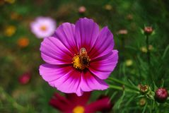 The purple coreopsis is booming and a bee royalty free stock photo
