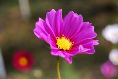 The purple coreopsis is booming and a bee stock photo