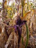 Purple Corn on the Cob in corn field Royalty Free Stock Photography