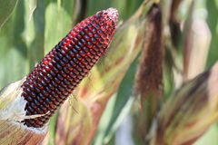 Purple corn in garden Stock Images