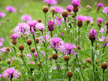 Purple cornflower Royalty Free Stock Photography