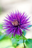 Purple cornflower on abstract green background Royalty Free Stock Image