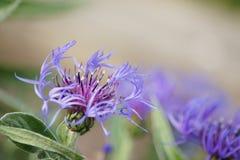 Purple Cornflower Royalty Free Stock Image