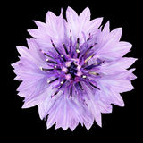 Purple Cornflower Flower Isolated on Black Background Stock Images