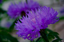 Purple cornflower Stock Photos