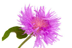 Purple Cornflower isolated Stock Photography