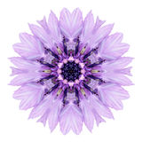 Purple Cornflower Mandala Flower Kaleidoscope Isolated on White Stock Image