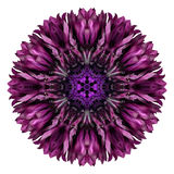 Purple Cornflower Mandala Flower Kaleidoscope Isolated on White. Dark Purple Cornflower Mandala Flower. Kaleidoscope of Centaurea cyanus Isolated on White Royalty Free Stock Images