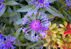 Purple cornflower Stock Photo