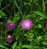 Purple cornflowers grow in the garden, macro. Beautiful purple cornflowers grow in the garden, macro stock photography