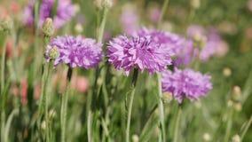 Purple cornflowers swaying in breeze stock video footage