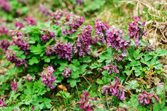 Purple Corydalis solida. Crested lark in blossom Royalty Free Stock Images