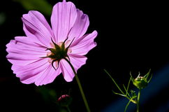 Purple cosmo Royalty Free Stock Images