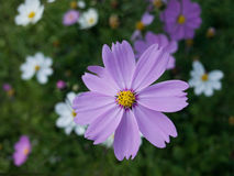 Purple cosmos Stock Photography