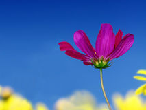 Purple cosmos bipinnatus Stock Photography