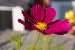 Purple cosmos bipinnatus flower or Mexican aster in garden Stock Images