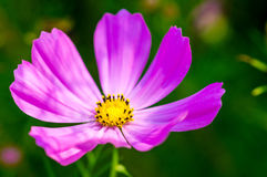 Purple cosmos blossom Stock Images