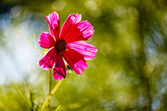 Purple Cosmos Flower Backlit by Evening Sun Stock Photography