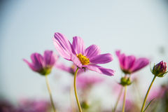 Purple cosmos flower with blue sky6 Royalty Free Stock Images