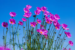 Purple cosmos flower and blue sky in the garden Stock Image