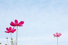 Purple cosmos flower on blue sky Royalty Free Stock Image