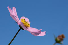 Purple cosmos flower and bud in the blue sky Stock Image