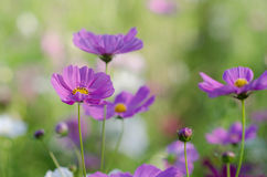 The purple Cosmos Royalty Free Stock Photo